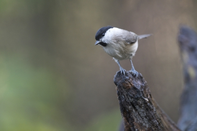 Vogel foto: Poecile palustris / Glanskop / Marsh Tit