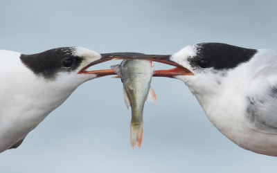 1. Sterna hirundo / Visdief / Common Tern