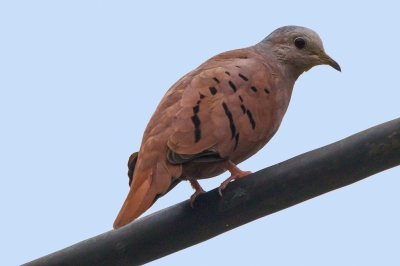 Vogel foto: Columbina talpacoti / Steenduif / Ruddy Ground Dove