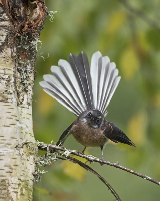 Bird picture: Rhipidura fuliginosa / Maoriwaaierstaart / New Zealand Fantail