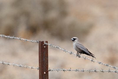 Vogel foto: Artamus cinereus / Zwartteugelspitsvogel / Black-faced Woodswallow
