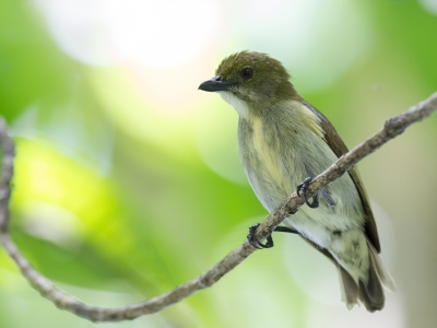 Bird picture: Dicaeum annae / Baardhoningvogel / Golden-rumped Flowerpecker