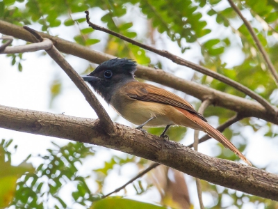 Bird picture: Terpsiphone affinis / Orientaalse Paradijsmonarch / Oriental Paradise Flycatcher