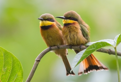Bird picture: Merops pusillus / Dwergbijeneter / Little Bee-eater
