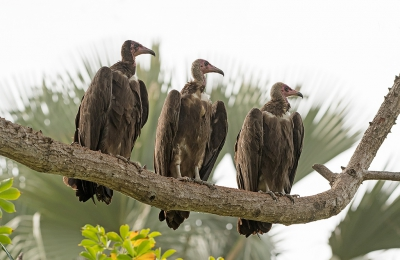 Bird picture: Necrosyrtes monachus / Kapgier / Hooded Vulture