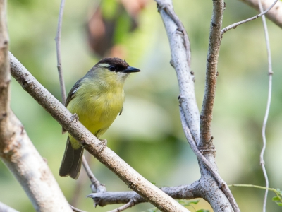 Bird picture: Lophozosterops dohertyi / Doherty's Bergbrilvogel / Crested White-eye