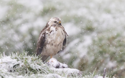 2. Buteo buteo / Buizerd / Common Buzzard