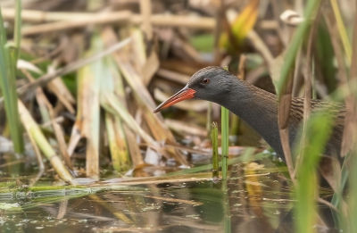 Vogel foto: Rallus aquaticus / Waterral / Water Rail