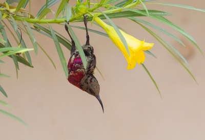 Bird picture: Chalcomitra senegalensis / Roodborsthoningzuiger / Scarlet-chested Sunbird