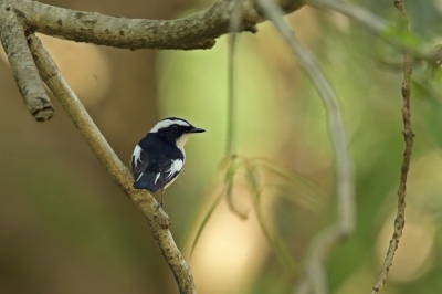 Bird picture: Ficedula westermanni / Ekstervliegenvanger / Little Pied Flycatcher
