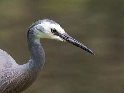 Bird picture: Egretta novaehollandiae / Witwangreiger / White-faced Heron