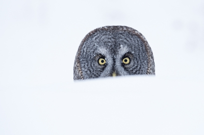 Strix nebulosa / Grote Grijze Uil / Great Grey Owl