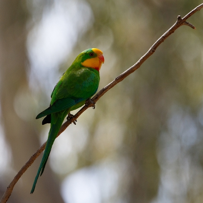 Bird picture: Polytelis swainsonii / Barrabandparkiet / Superb Parrot