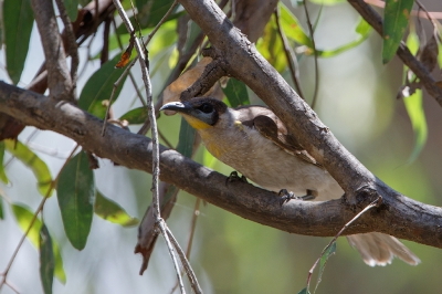 Bird picture: Philemon citreogularis / Kleine Lederkop / Little Friarbird