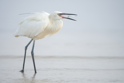 Bird picture: Egretta rufescens / Roodhalsreiger / Reddish Egret