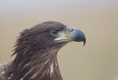 Bird picture: Haliaeetus albicilla / Zeearend / White-tailed Eagle