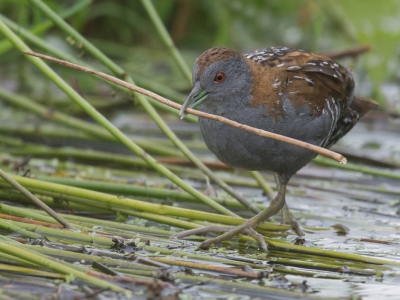 Bird picture: Porzana pusilla / Kleinst Waterhoen / Baillon's Crake
