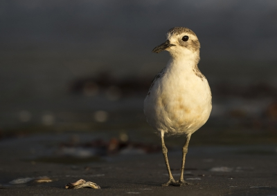 Bird picture: Charadrius obscurus / Rosse Plevier / New Zealand Plover