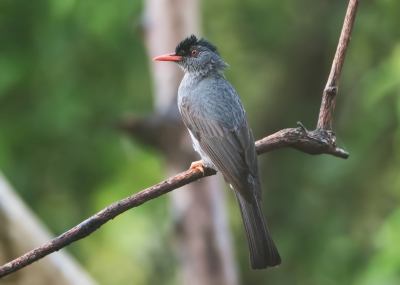 Bird picture: Hypsipetes ganeesa / Ghatsbuulbuul / Square-tailed Bulbul