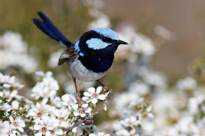 Bird picture: Malurus cyaneus / Ornaatelfje / Superb Fairywren