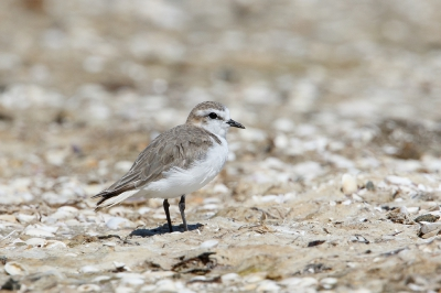 Charadrius ruficapillus / Roodkopplevier / Red-capped Plover