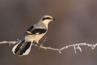 1. Lanius excubitor / Klapekster / Great Grey Shrike