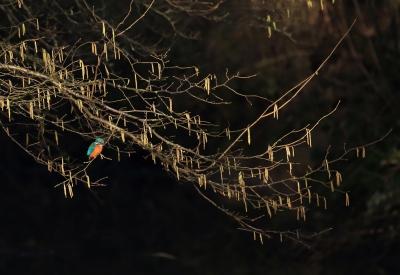 2. Alcedo atthis / IJsvogel / Common Kingfisher