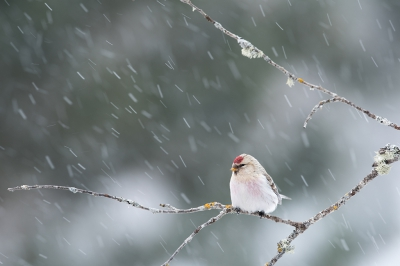 Bird picture: Acanthis hornemanni / Witstuitbarmsijs / Arctic Redpoll