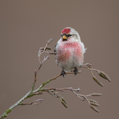 Bird picture: Acanthis flammea / Grote Barmsijs / Mealy Redpoll
