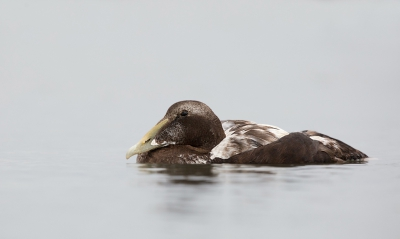 Bird picture: Somateria mollissima / Eider / Common Eider