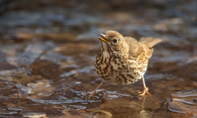 Bird picture: Turdus philomelos / Zanglijster / Song Thrush