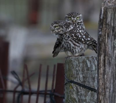 Bird picture: Athene vidalii / Steenuil / Little Owl