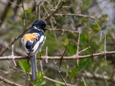 Bird picture: Pericrocotus erythropygius / Witbuikmenievogel / White-bellied Minivet