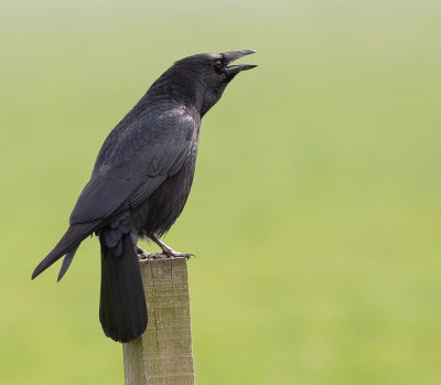 Bird picture: Corvus corone / Zwarte Kraai / Carrion Crow