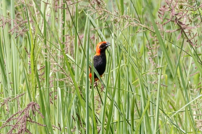 Bird picture: Euplectes nigroventris / Zwartbuikwever / Zanzibar Red Bishop