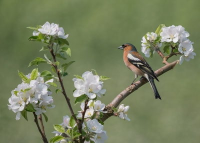 Bird picture: Fringilla coelebs / Vink / Common Chaffinch
