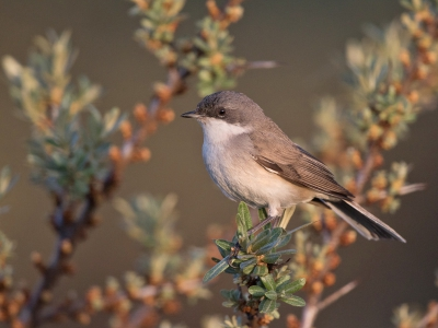 Bird picture: Sylvia curruca / Braamsluiper / Lesser Whitethroat