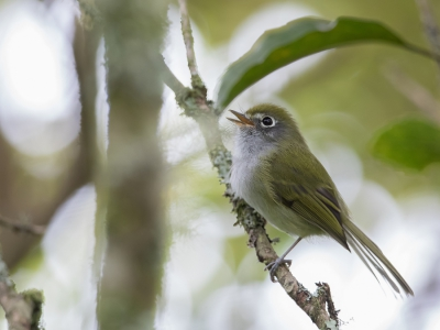 Bird picture: Phylloscartes difficilis / Witooglooftiran / Serra do Mar Tyrannulet
