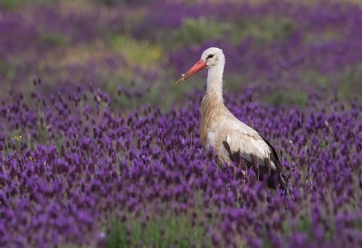 Bird picture: Ciconia ciconia / Ooievaar / White Stork