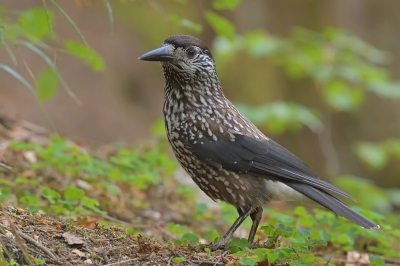 Bird picture: Nucifraga caryocatactes / Notenkraker / Spotted Nutcracker