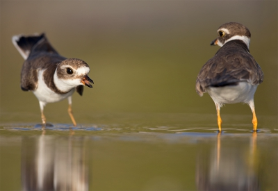 Bird picture: Charadrius semipalmatus / Amerikaanse Bontbekplevier / Semipalmated Plover