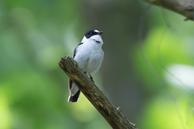Bird picture: Ficedula albicollis / Withalsvliegenvanger / Collared Flycatcher