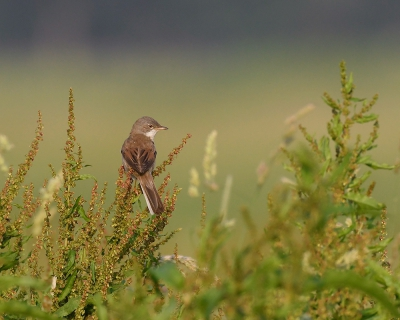 Bird picture: Sylvia communis / Grasmus / Common Whitethroat