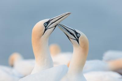 Bird picture: Morus bassanus / Jan-van-gent / Northern Gannet