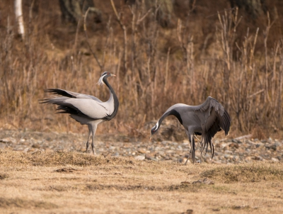 Bird picture: Grus virgo / Jufferkraanvogel / Demoiselle Crane