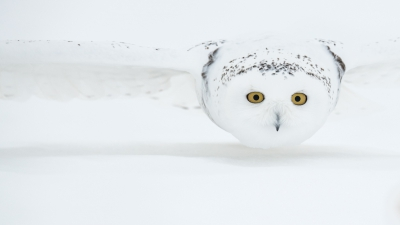 Bird picture: Bubo scandiacus / Sneeuwuil / Snowy Owl