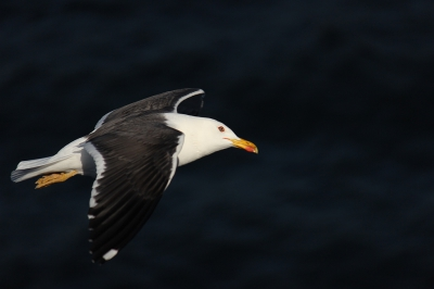Bird picture: Larus fuscus / Kleine Mantelmeeuw / Lesser Black-backed Gull
