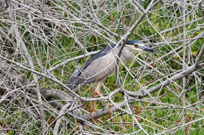 Vogel foto: Nycticorax nycticorax / Kwak / Black-crowned Night Heron