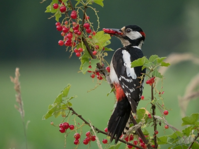 Dendrocopos major / Grote Bonte Specht / Great Spotted Woodpecker