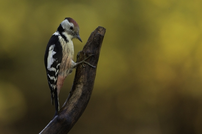 Bird picture: Dendrocoptes medius / Middelste Bonte Specht / Middle Spotted Woodpecker